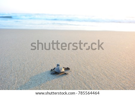 Baby turtle doing her first steps to the ocean. This is the beach of Playa Azul, in Lazaro Cardenas, Mexico #785564464