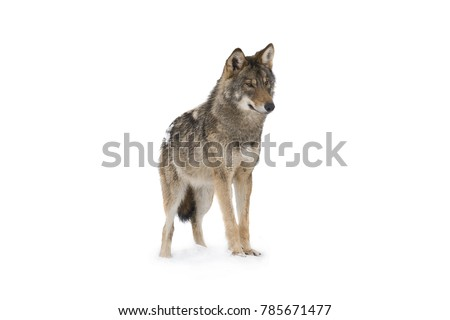 gray wolf (canis lupus) isolated on snow on a white background
