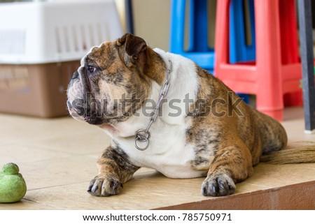 English bulldog looking #785750971