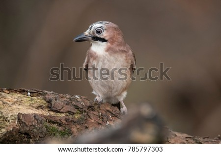 Jay, perched on a rotten tree trunk in a forest #785797303