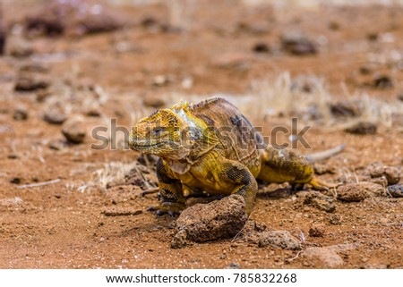Land iguana walking around, North Seymour Island, Galapagos Islands, Ecuador #785832268