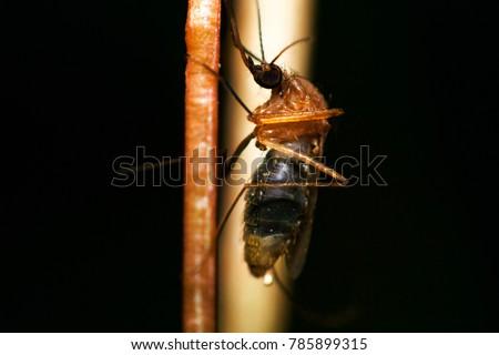 mosquito,Super macro ,Dangerous Zica virus aedes aegypti mosquito #785899315
