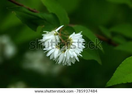 The flower of a Hydrangea growing in a summer garden. #785937484