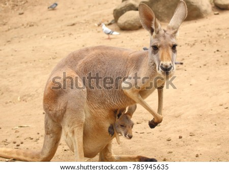 Landscape picture of a kangaroo with a baby Joey in her pouch, in Northern Territory, Australia