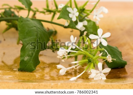 Plumbago zeylanica,flowers and green leaves have medicinal properties. #786002341