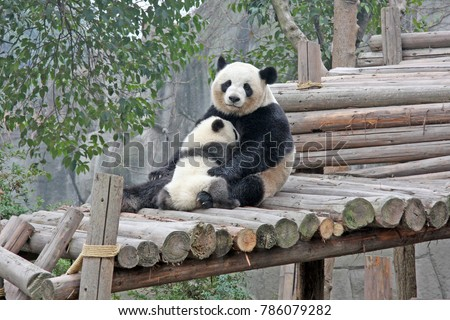 Gaint Panda.Mother Panda with small baby panda , endangered speicies and  protected. Selective focus.