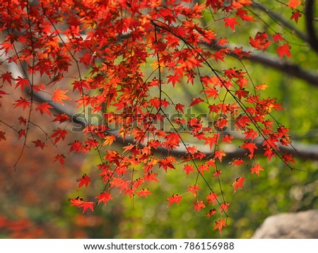 The colorful and beautiful maple autumn leaves in the park with the warm sunlight #786156988
