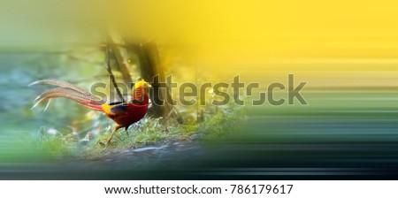 Beautiful Golden Pheasant #786179617