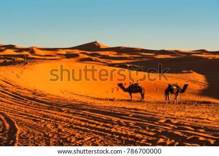 Camels in Sahara desert, Morocco #786700000