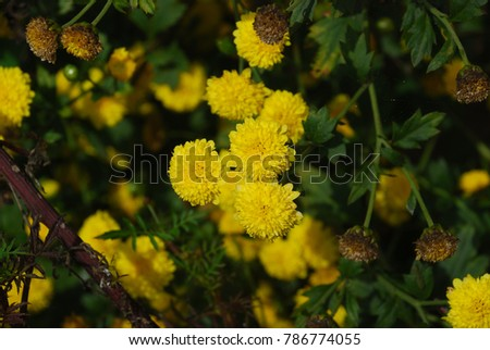 Chrysanthemum morifolium Ramat. Leafy stems and leaves are soft and soft on the leaves. The flowers are green with yellow flowers are blooming beautiful. And black withered flowers. #786774055