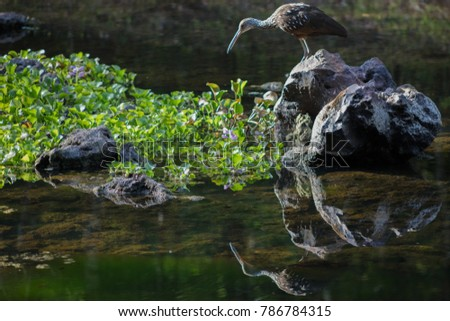 Limpkin Fishing Lily Pads #786784315