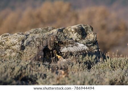Common Buzzard on the mountain rocks #786944494
