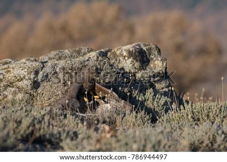 Common Buzzard on the mountain rocks #786944497