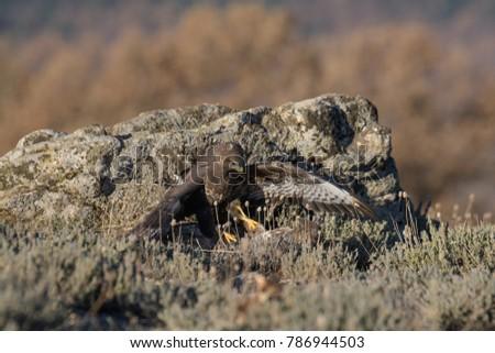 Common Buzzard on the mountain rocks #786944503