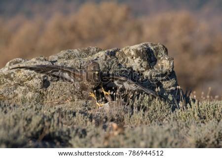 Common Buzzard on the mountain rocks #786944512