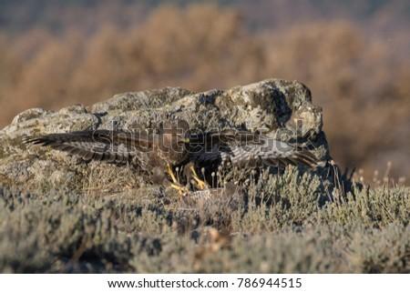 Common Buzzard on the mountain rocks #786944515