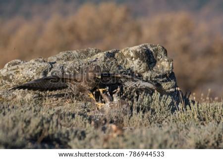 Common Buzzard on the mountain rocks #786944533