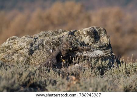 Common Buzzard on the mountain rocks #786945967