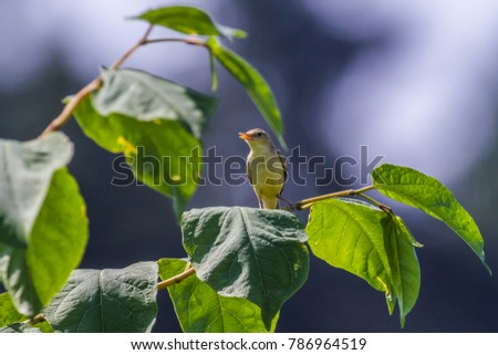 a melodious warbler is sittiing on a branch #786964519