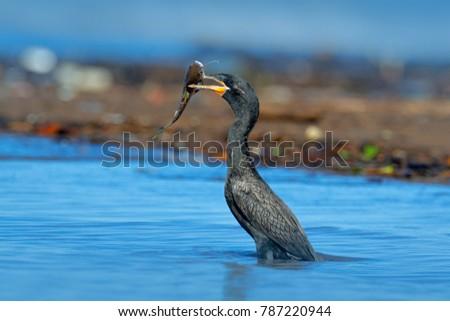 Cormorant with fish. Dark bird in nature habitat, in blue sea water. River bird in the nature habitat. Shag from Costa Rica. Royalty-Free Stock Photo #787220944