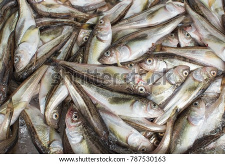 Fresh Fish croaker #787530163