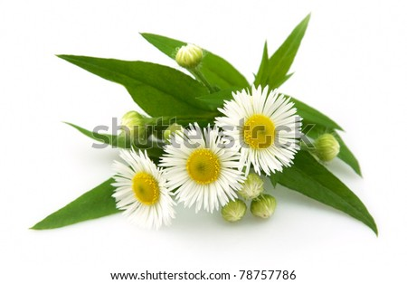 Wood chamomile with leaves on a white background #78757786