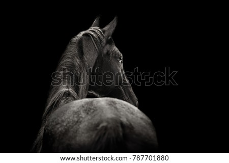 Beautiful black horse posing for portrait on a black background