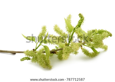 mulberry branch with young green fruits  isolated on white #787712587