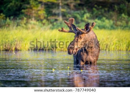 Bull moose in Algonguin Park, Ontario, Canada. #787749040