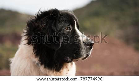 landseer dog pure breed #787774990