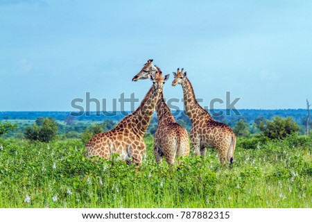 Giraffe in Kruger national park, South Africa ; Specie Giraffa camelopardalis family of Giraffidae #787882315