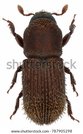 Pagiocerus frontalis is an insect belonging to the bark beetles (Scolytinae). Isolated on a white background #787905298