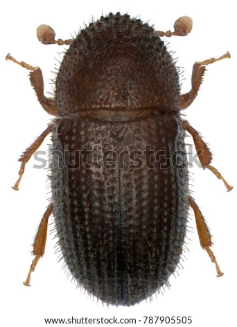 The coffee borer beetle or coffee berry borer (Hypothenemus hampei) is an insect belonging to the bark beetles (Scolytinae). Isolated on a white background #787905505