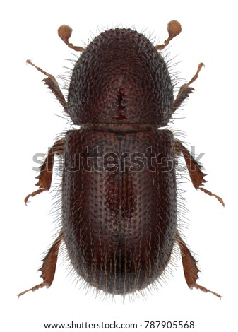 The date stone beetle or button beetle, Coccotrypes dactyliperda, is an insect belonging to the bark beetles (Scolytinae). Isolated on a white background #787905568