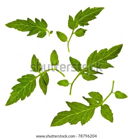 tomato leaves close up macro shot isolated on white background #78796204