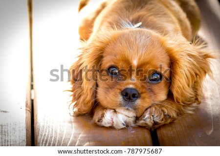 Sunset portrait of a King Charles Cavalier puppy.  This is a very loving and wonderful family pet. They love to play and cuddle and make you very happy. Royalty-Free Stock Photo #787975687