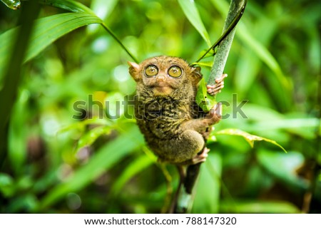 The Philippine tarsier (Carlito syrichta) is a species of tarsier endemic to the Philippines. It is one of the smallest known primates. #788147320