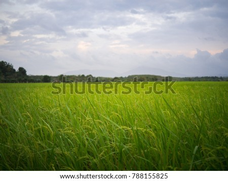 The green rice field in the dawn morning #788155825