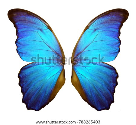 Wings of a butterfly Morpho. Morpho butterfly wings isolated on a white background. #788265403