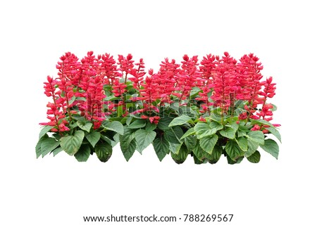 tropical plant red Flowers bush tree isolated on white background with clipping paths #788269567