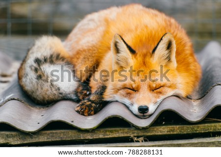 Young little lovely puppy fox sleeping on kennel roof in european zoo on abstract background at nature outdoor. Tender furry vulpes resting. Closeup portrait of red orange predator with long tail.