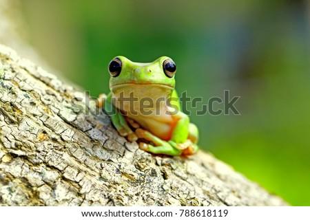 Dumpy frog, tree frog #788618119