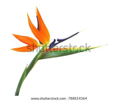 Paradise bird flower or strelizia, isolated on white background. #788814364