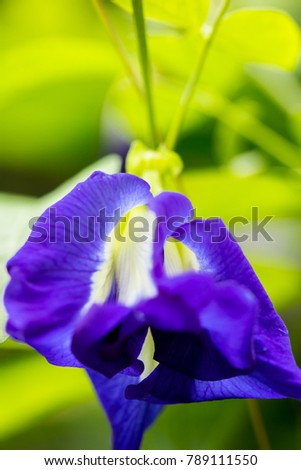 pea flowers is very beautiful, purple, herbal flower, #789111550