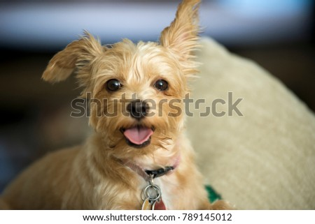 a yorkshire terrier looking at camera #789145012