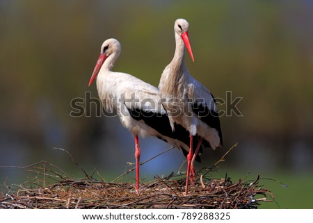 Pair of White Stork birds on a nest during the spring nesting period #789288325