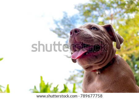 Puppy Pit bull terrier dog is watching on something, Pit bull terrier is a american dog breed, Puppy pit bull terrier with natural background #789677758