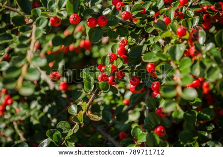 Vaccinium vitis-idaea - lingonberry, partridgeberry, or cowberry - a short evergreen shrub. #789711712