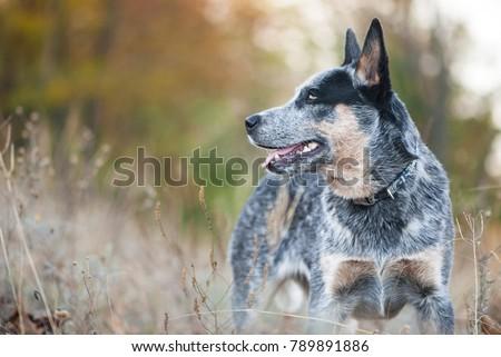 Autumn beauty portrait of Australian cattle dog #789891886