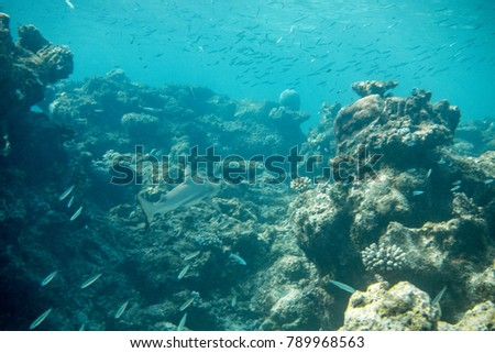 Juvenile black-tip reef shark in a shallow coral reef in the Maldives #789968563